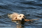 Labrador_Retriever_swims_back_while_retrieving_a_stick